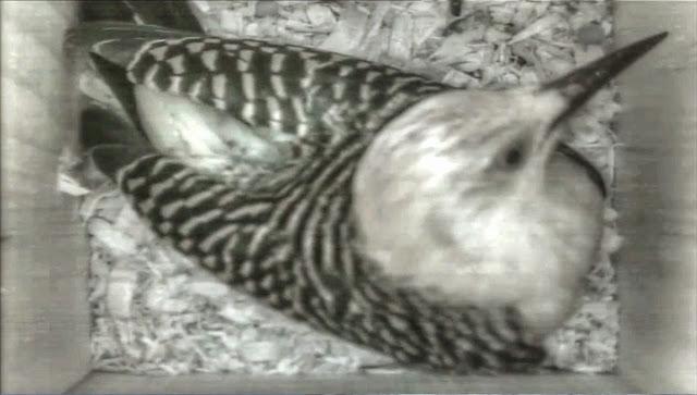 Red Bellied Woodpecker Inspects Nest Box
