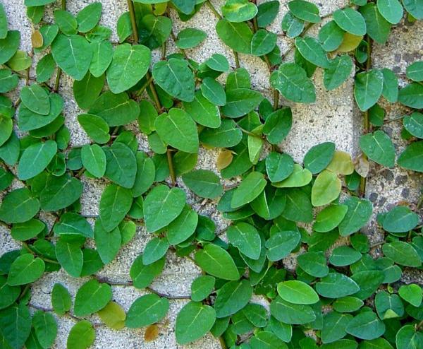 Plantas trepadoras para espacios reducidos guia de jardin - Enredaderas de interior ...