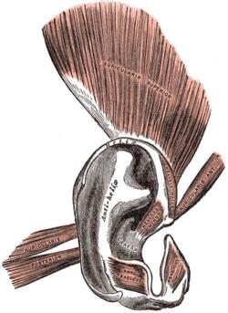 otot-telinga