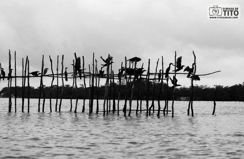 Revoada de Biguás ou Mergulhões (Phalacrocorax brasilianus), em Maiandeua (Algodoal), no Pará