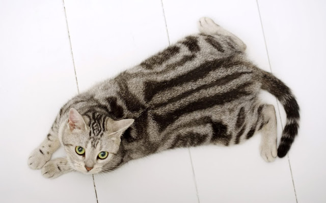 Photo american shorthair