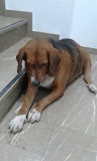 Ο σκυλακος των φωτογραγιων βρεθηκε σημερα, 21/9, στο Κερατσινι, στην λεωφ. Δημοκρατιας. Επείγει φιλοξενία!