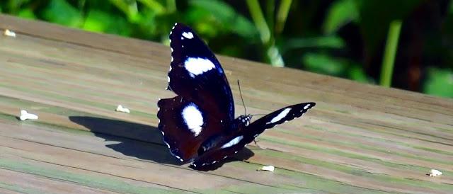 Große Eierfliege (Hypolimnas antevorta) Schmetterling