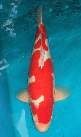 Red color development in koi fish koi fish care info for Pink koi fish