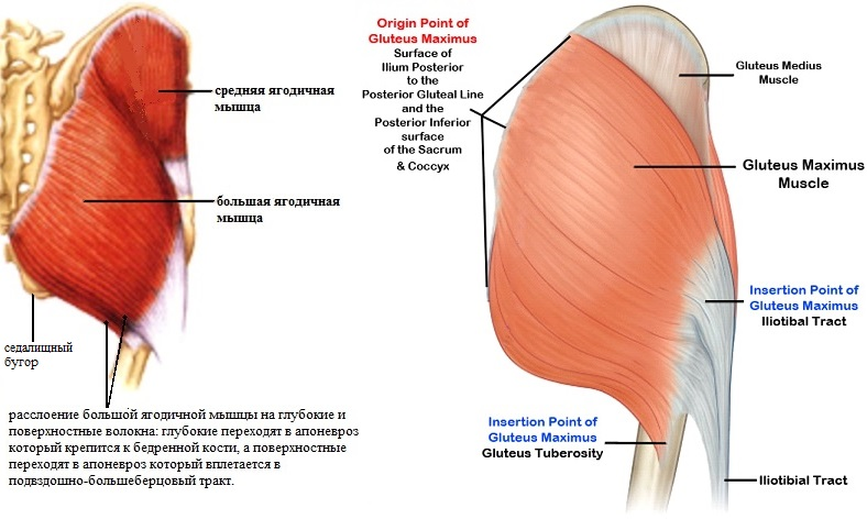 Мышцы ягодичные