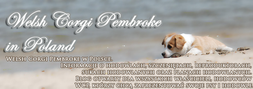 Welsh Corgi Pembroke in Poland