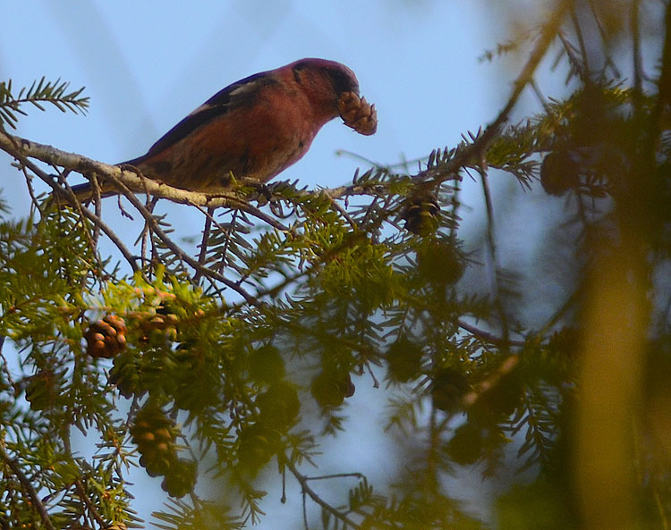 White-winged Crossbill (at Miami Cemetery near Caesar Creek and Waynesville, OH) holds an eastern hemlock cone in its bill.