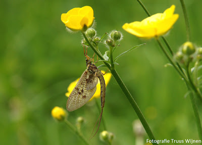 Eendagsvlieg of Haft (orde Ephemeroptera)