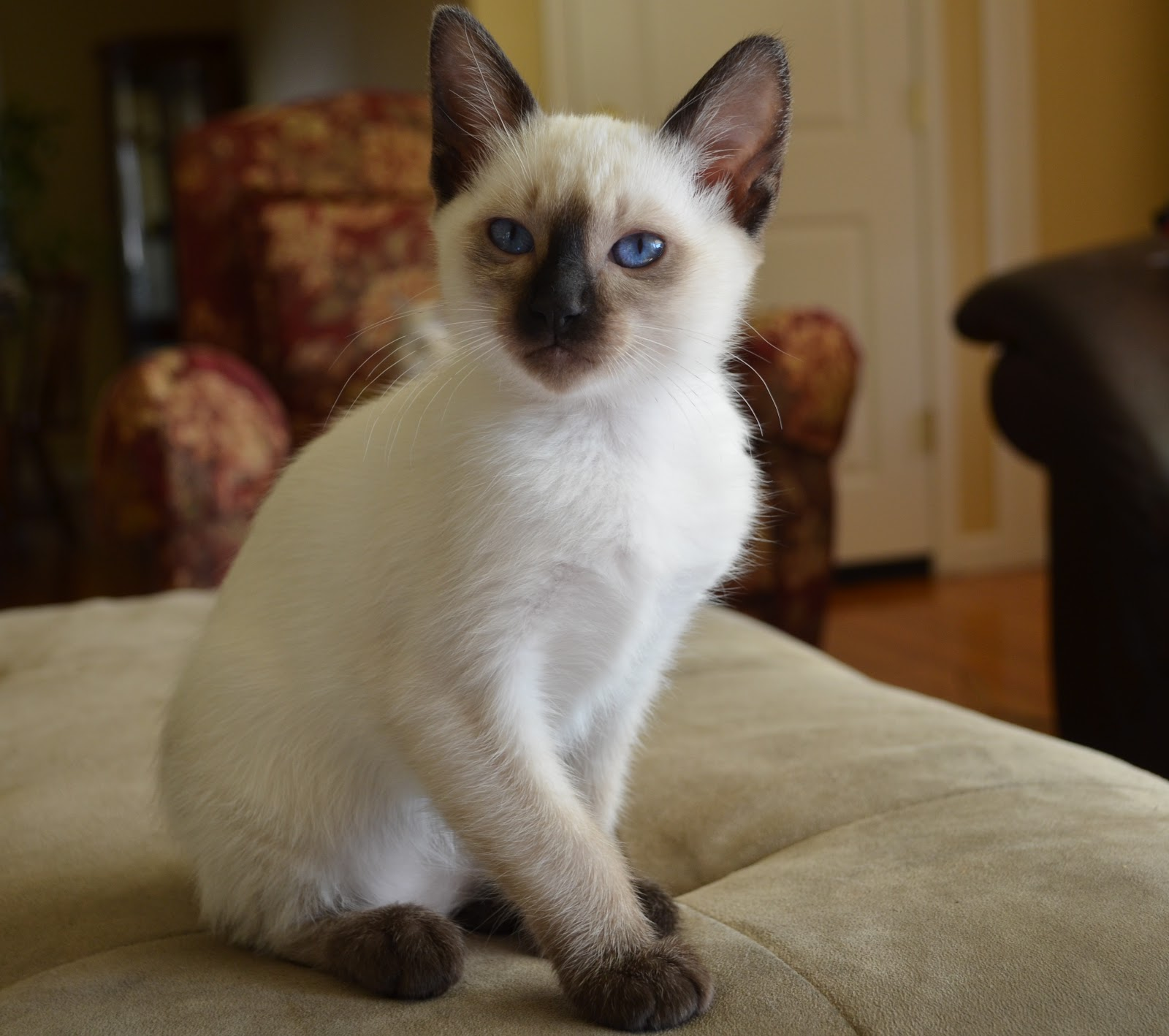 Seal point female kitten available | Baliwest