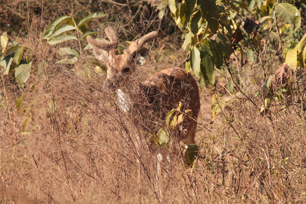 Deer at Rajaji National Park