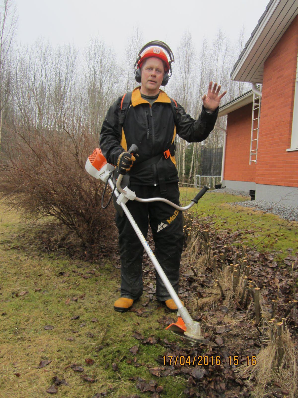Pensasaitojen alasleikkaukset, pihapuiden kaadot Tampere Pirkanmaa Häme. Maksutapa käteisellä heti