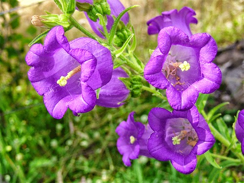 Tarım Siteniz çan çiçeği