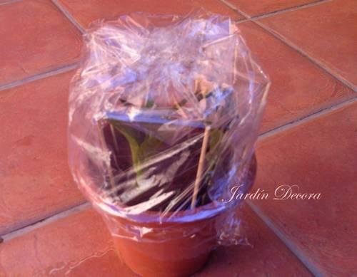 maceta-esquejes-hortensia-tapados-plástico-microclima