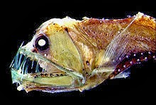 Image of a viperfish