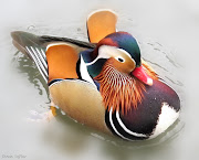 Several years ago, on seeing my first Mandarin duck I fell totally in love . (mandarin duck with signature)