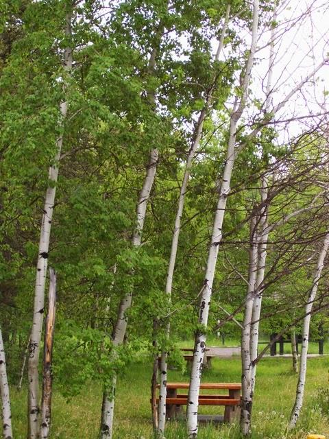 Vancouver Island Big Trees Trembling Aspen