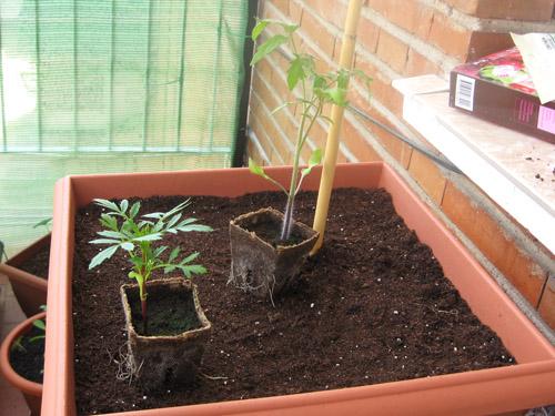 rincón de xihom: plantando el tomate