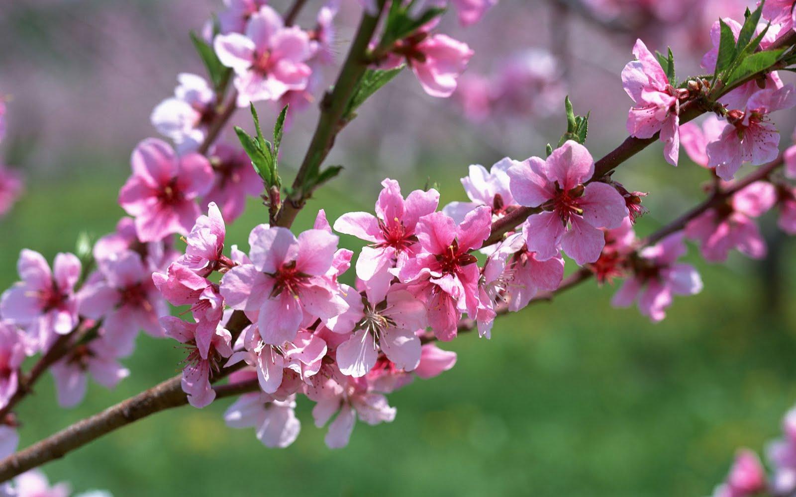 http://2.bp.blogspot.com/-1bddADN4ldA/TmnI3z4RNkI/AAAAAAAAAko/z2t3tdQLex8/s1600/Spring_Branch_1920x1200+hd+wallpaper.jpg