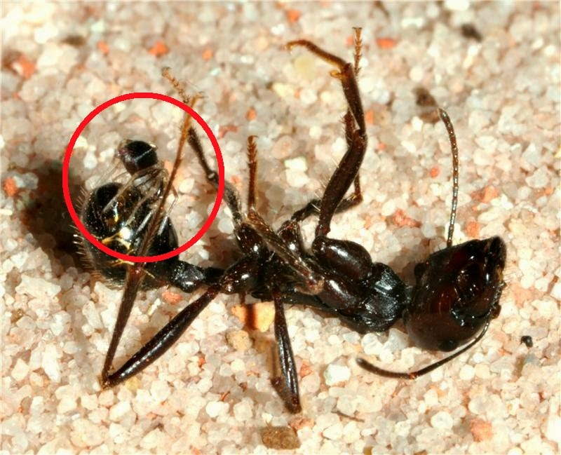 Tiny spider (Z. cyrenaicum) feeds on large ant (M. arenarius)