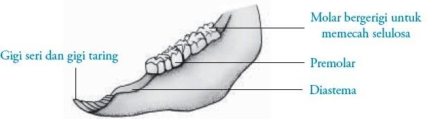 Struktur rahang bawah hewan ruminansia