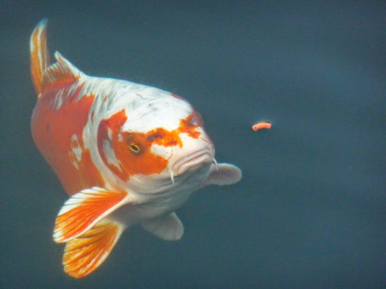 The koi fish japanese carp the experienced eye of the koi breeder looks for more than colors and patterns in the young fish that conform as closely as possible to the standards biocorpaavc