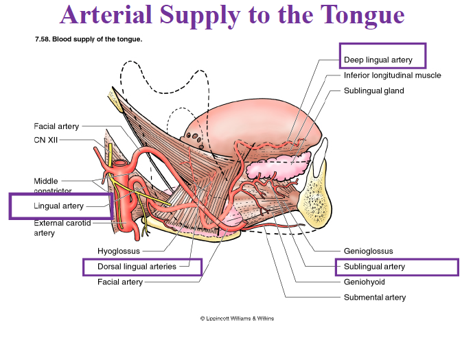 Arterial Supply Tongue Anatomy For Medical Students