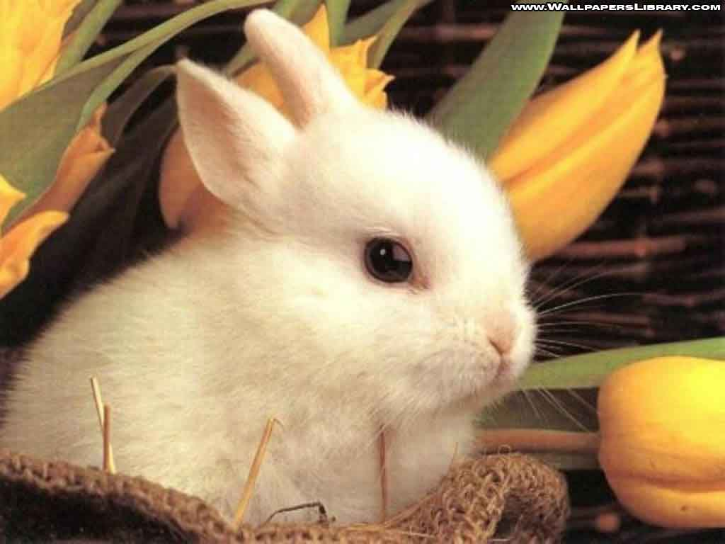 hd desktop wallpaper rabbit wallpapers