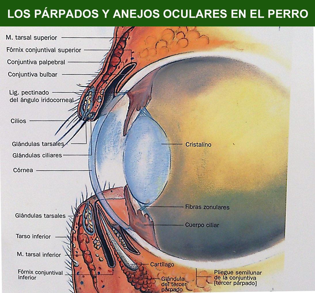 Oftalmologia Veterinaria: junio 2015