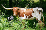 For Sale - Bred Cow w/calf