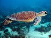 #8 Turtle Wallpaper