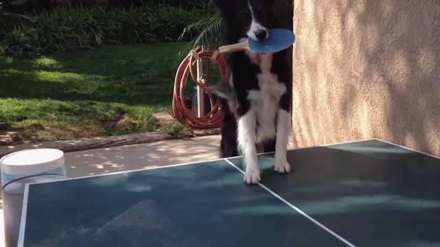 Ce chien est un champion de ping pong