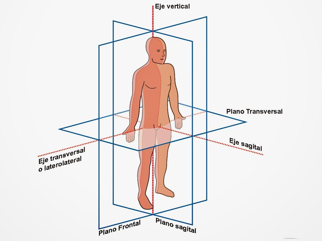 CLASES DE ANATOMIA HUMANA: MÚSCULOS DEL CUERPO HUMANO