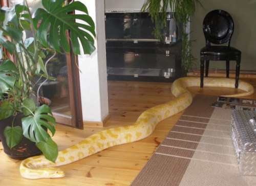 Amazing yellow Anakonda Snake as pet_MyClipta blog