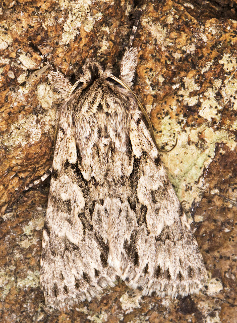 Early Grey, Xylocampa areola.  Noctuidae.  In my garden actinic light trap in Hayes on 16 April 2013.