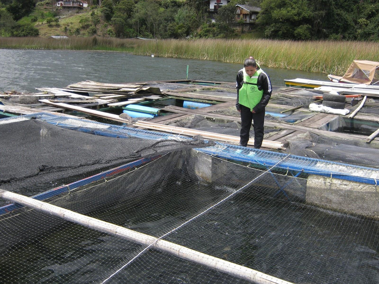 Jaulas flotantes recursos hidrobiologicos for Piscinas para tilapias