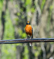 The Robin , My Favorite Song Bird