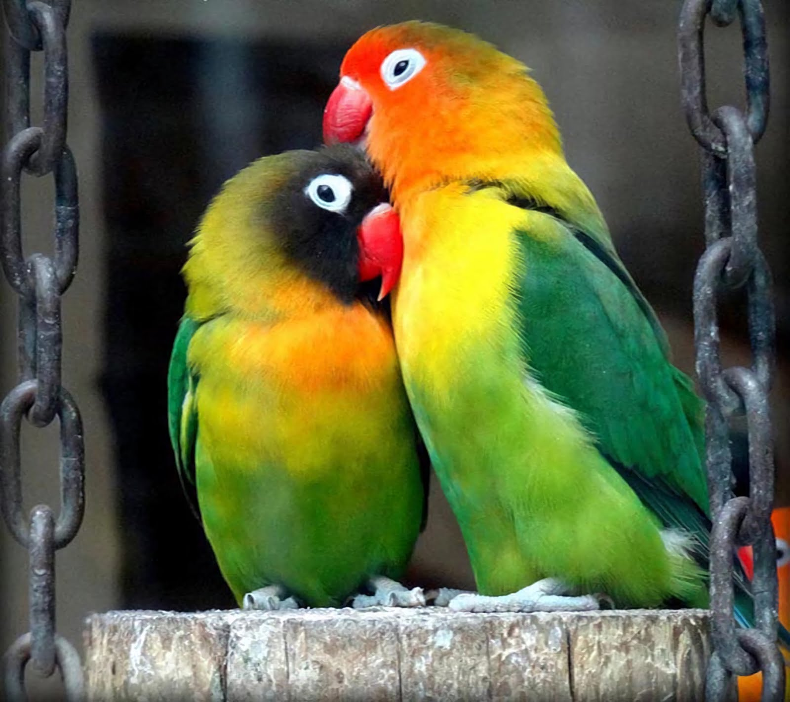 Image result for eyering lovebirds