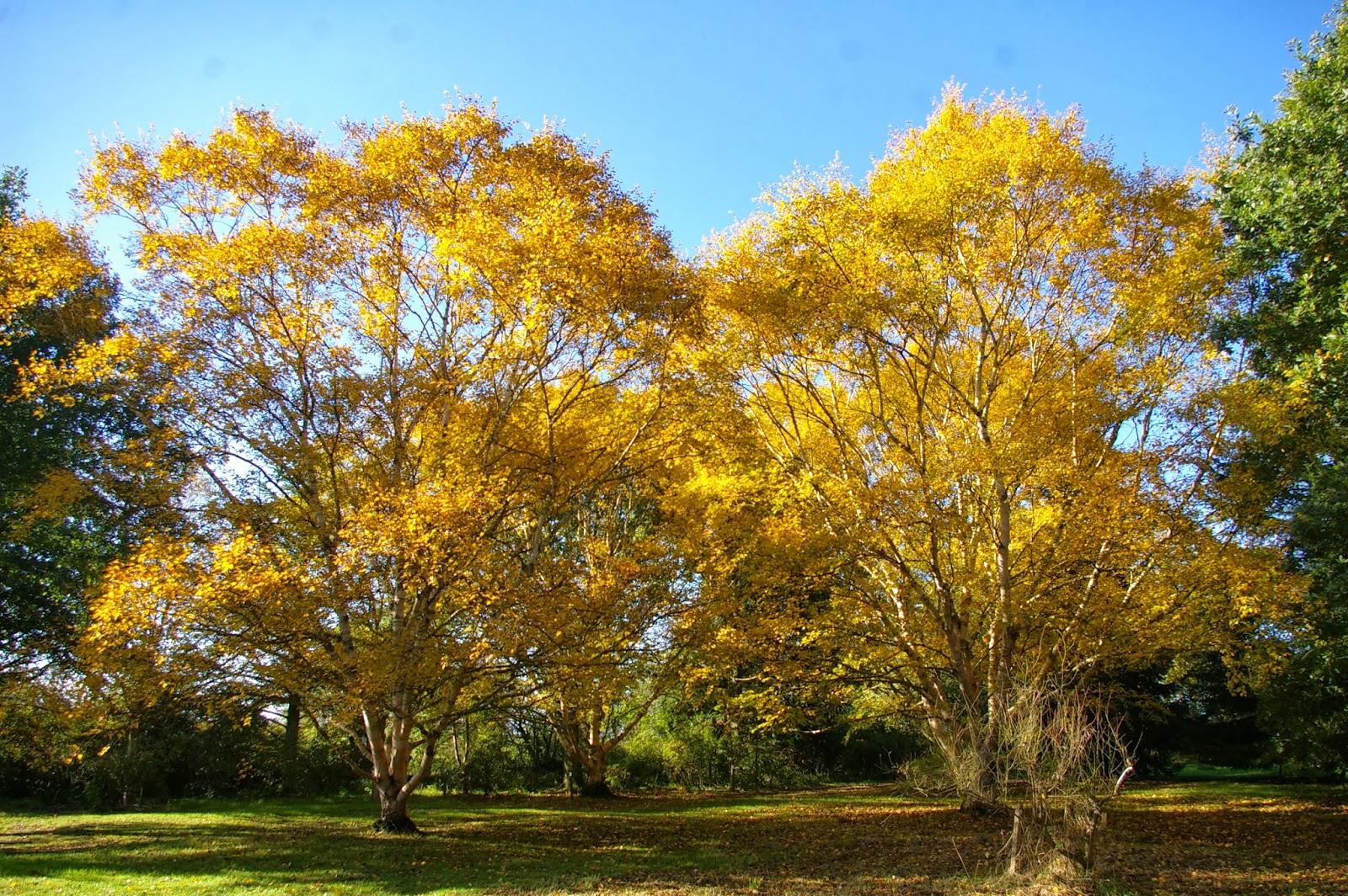 John Grimshaw\'s Garden Diary: The Genus Betula