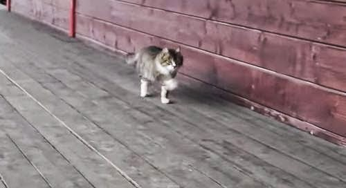 Kucing berjalan seperti kuda