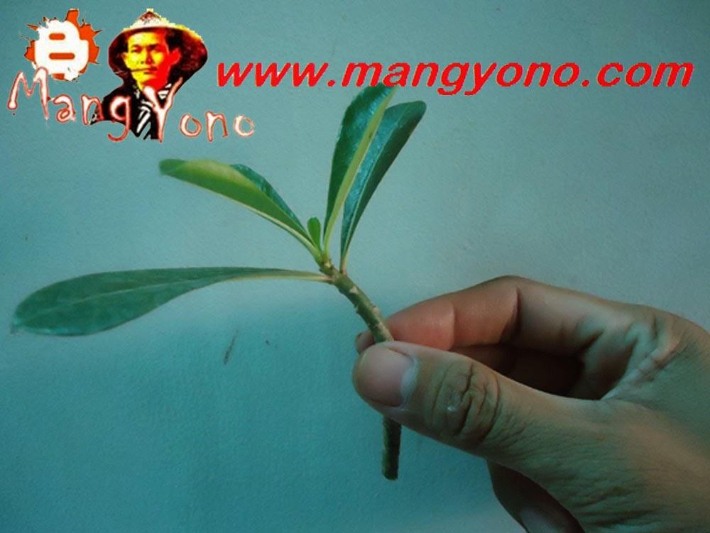 Cara membawa tanaman tanpa akar agar tidak layu.