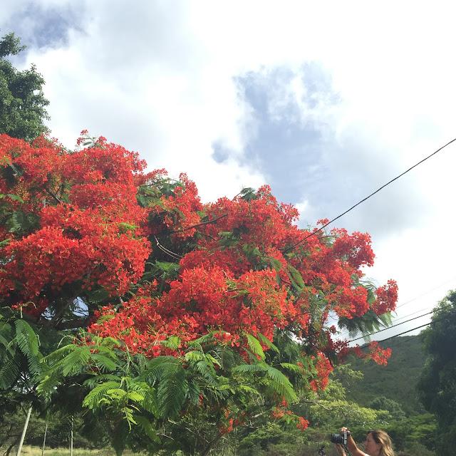 st.kitts national flower poinciana
