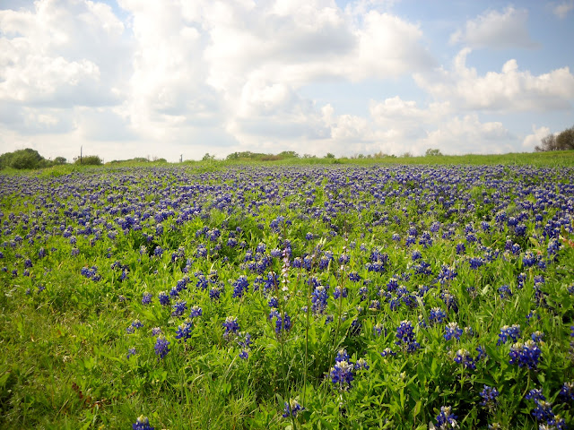 Wildflowers in full bloom at White Rock Lake, Dallas including these Bluebonnets.