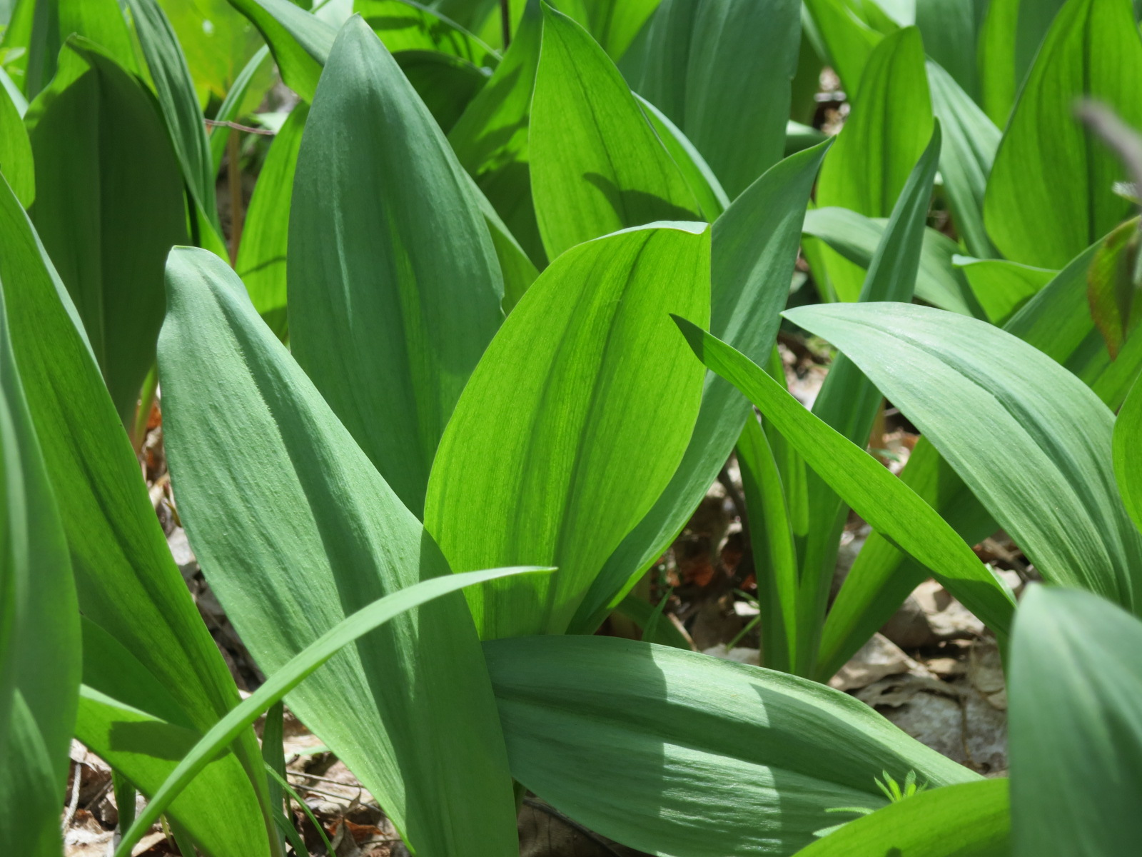 ... Foodie: Preserving the Flavors of Spring: Ramp Compound Butter Recipe