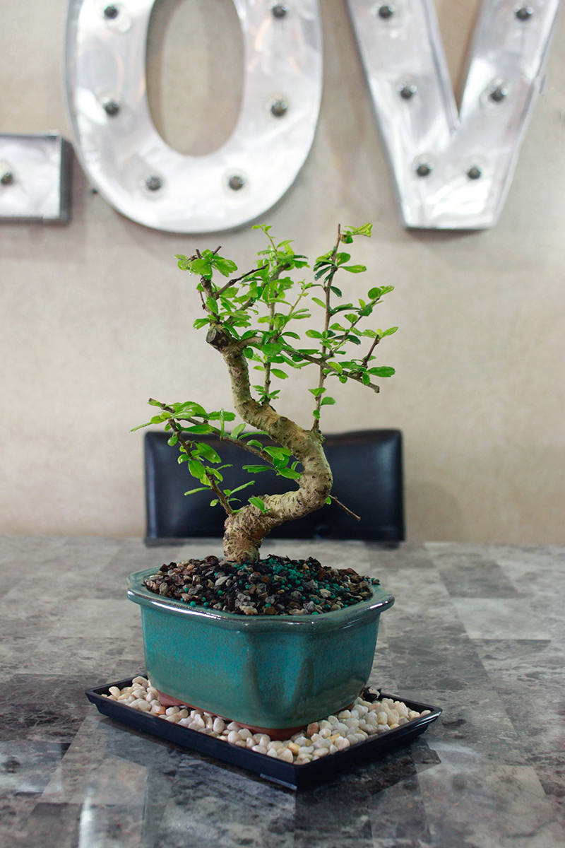 fukien bonsai tree