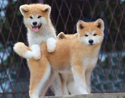 nice-Akita-Puppies