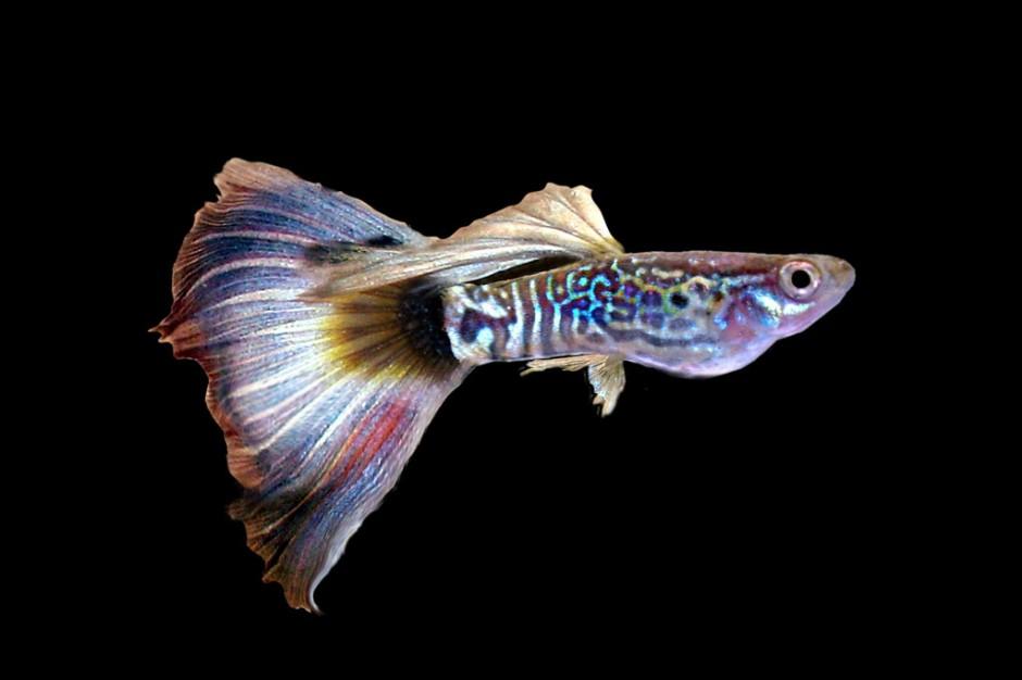 I Love U Ikan Guppy Review Ebooks