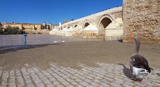 guadalquivir, río, exceso caudal, inundación, barro, puente romano, córdoba, españa, turismo, pasear, ribera, molino San Antonio, patos, gansos, ganso, oca, ansar, pato, malvasias, rocas, piedras
