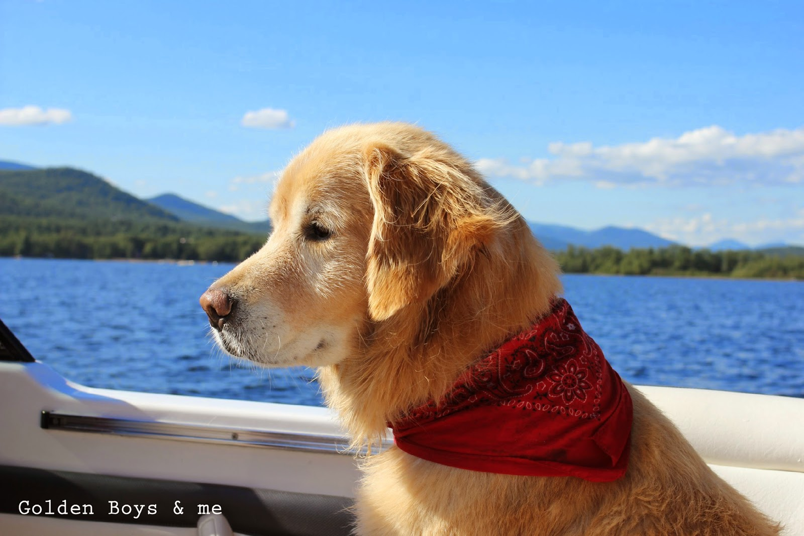 Golden Retriever with red bandanna on a boat-www.goldenboysandme.com
