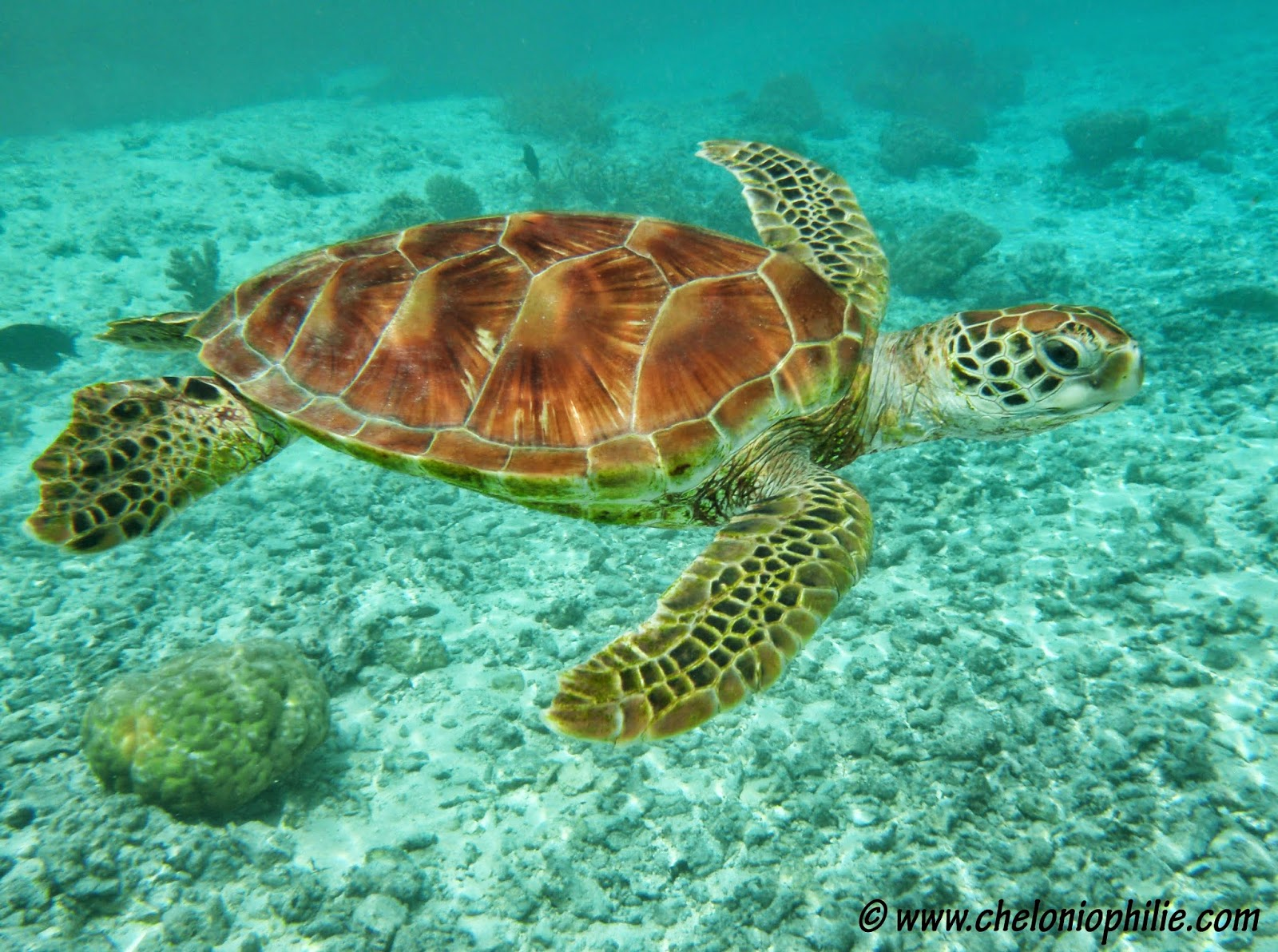 Tatouage de tortue de mer - Images tortue ...