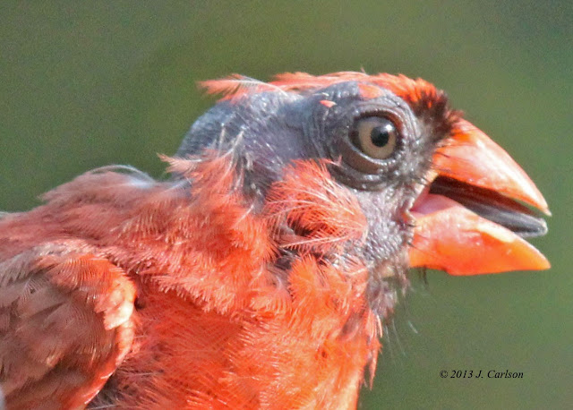 Nature-in-verse: Bald Male Northern Cardinal